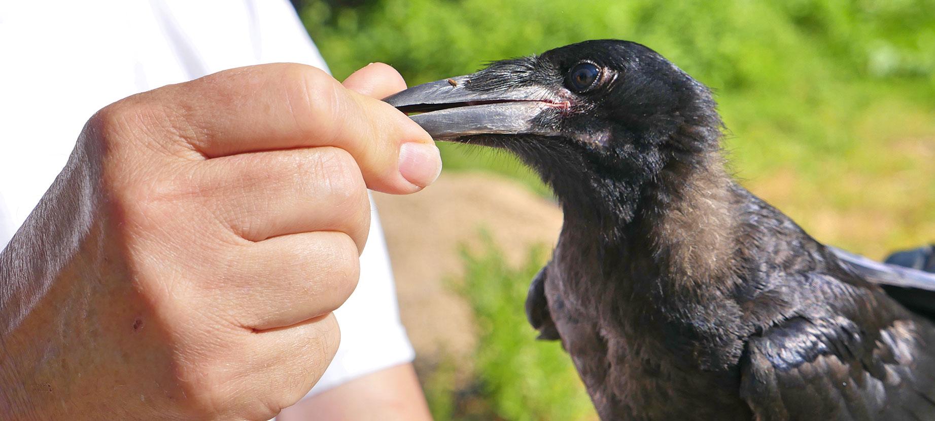 Une escouade de corbeaux pour éduquer le public du Grand Parc