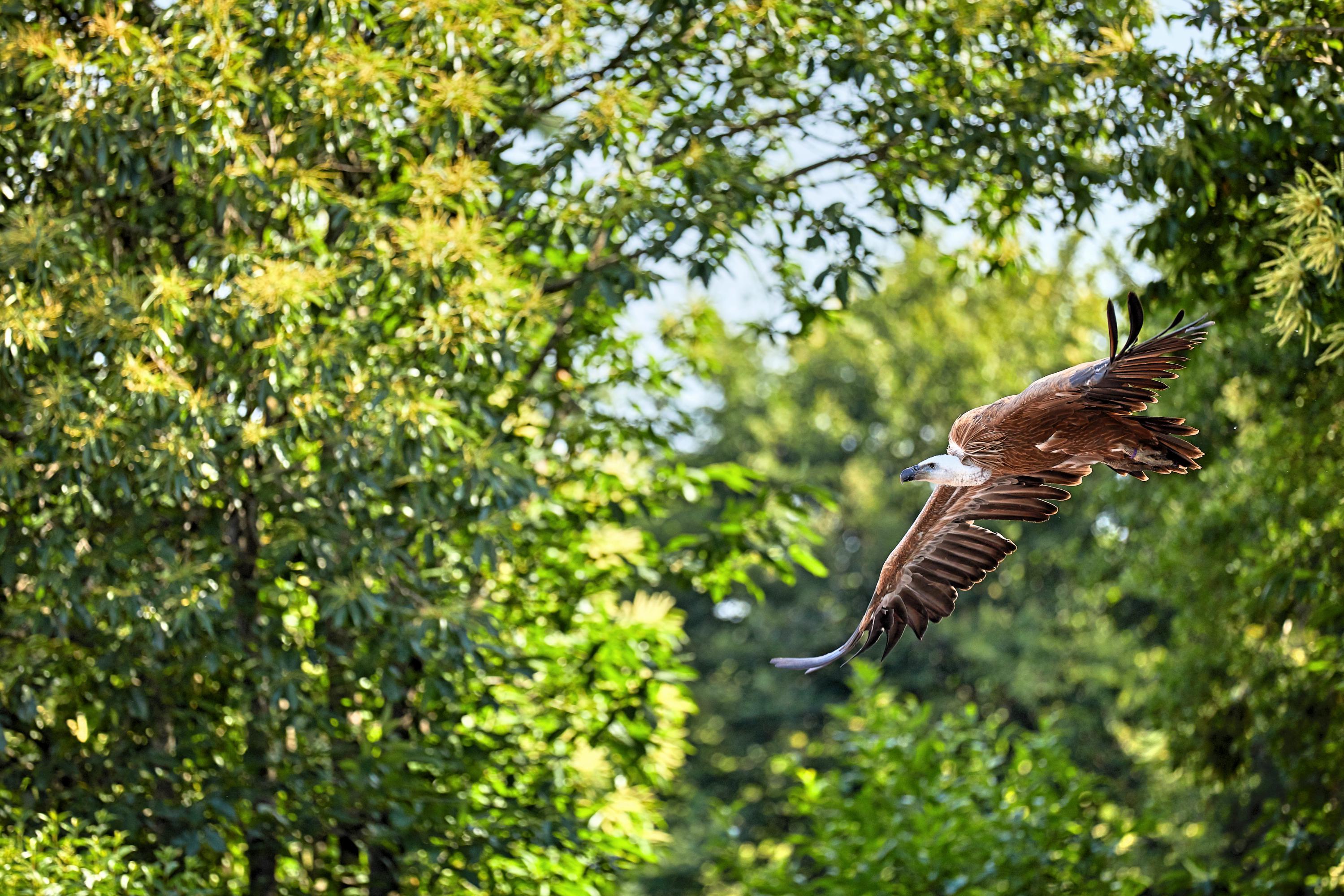 L'Académie de Fauconnerie s'engage en faveur des vautours !